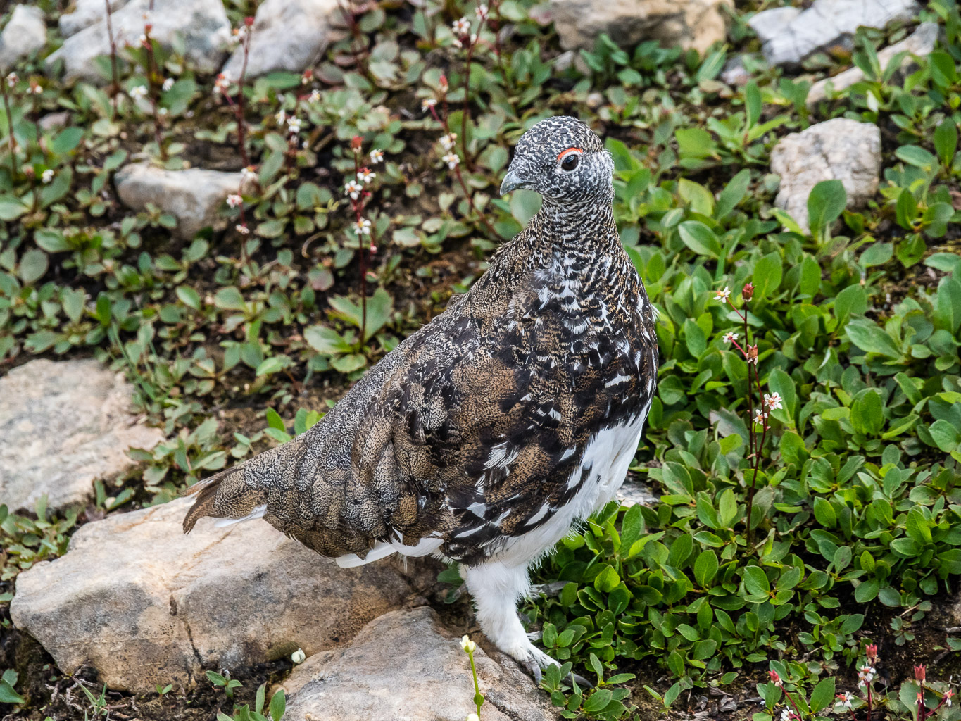 Ptarmigan are surprisingly beautiful.